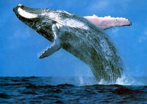 You really must get out on the water to truly experience the wonder of these mysterious whales.