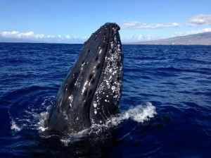 whale watching from Maui as well as spectacular snorkeling snorkeling