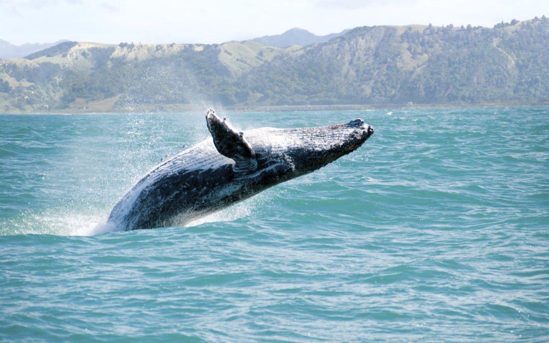 Maui whale watching!
