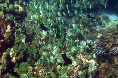 Snorkel shark fin on the island of Lanai