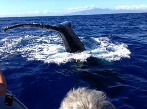 lahaina whale watches