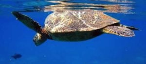 Snorkel with turtles in Maui