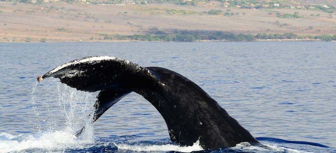 Maui Whale Watching Is Just Around The Corner