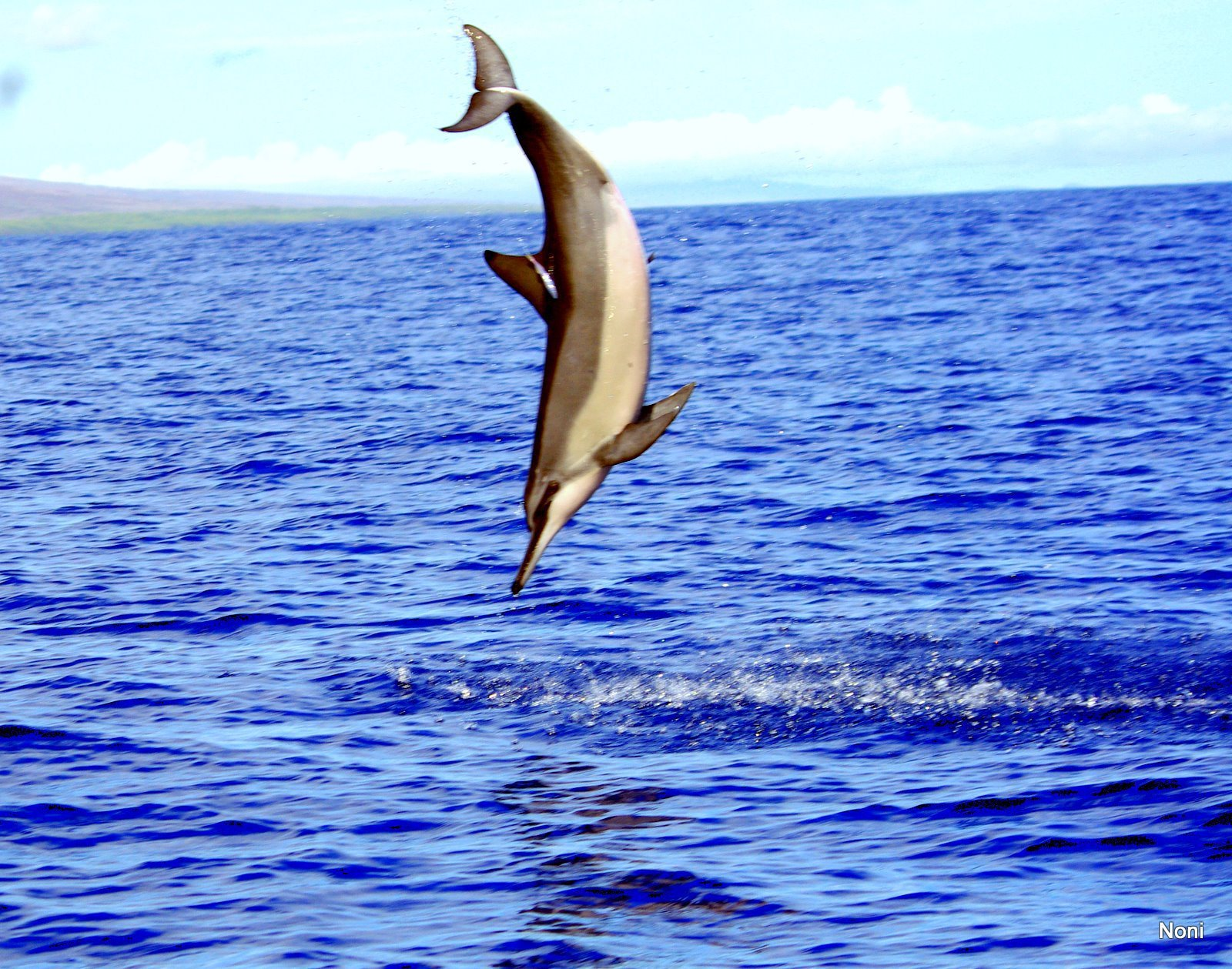 Hawaiian Spinner Dolphins, why the spinning?