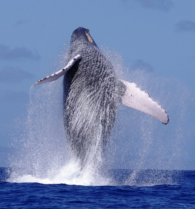 The first humpback whale of the season has been sighted!