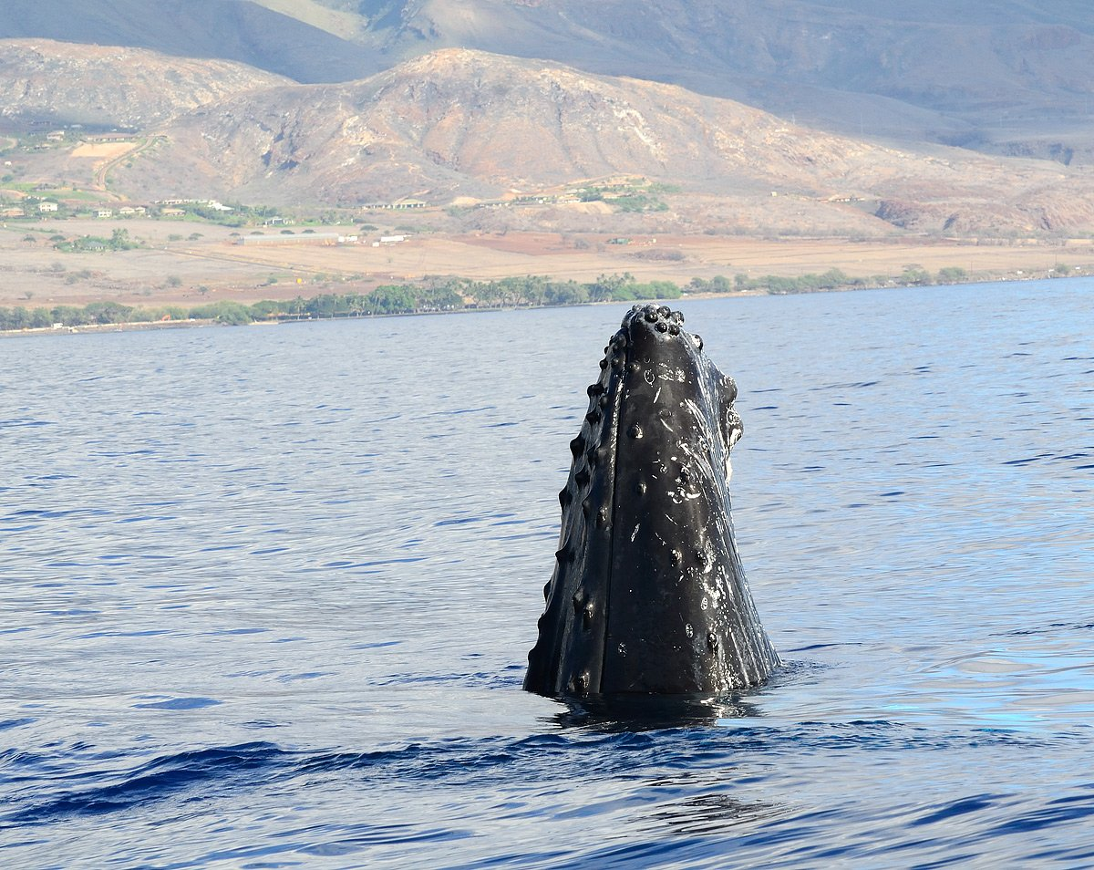 Humpback whale watching from Maui.