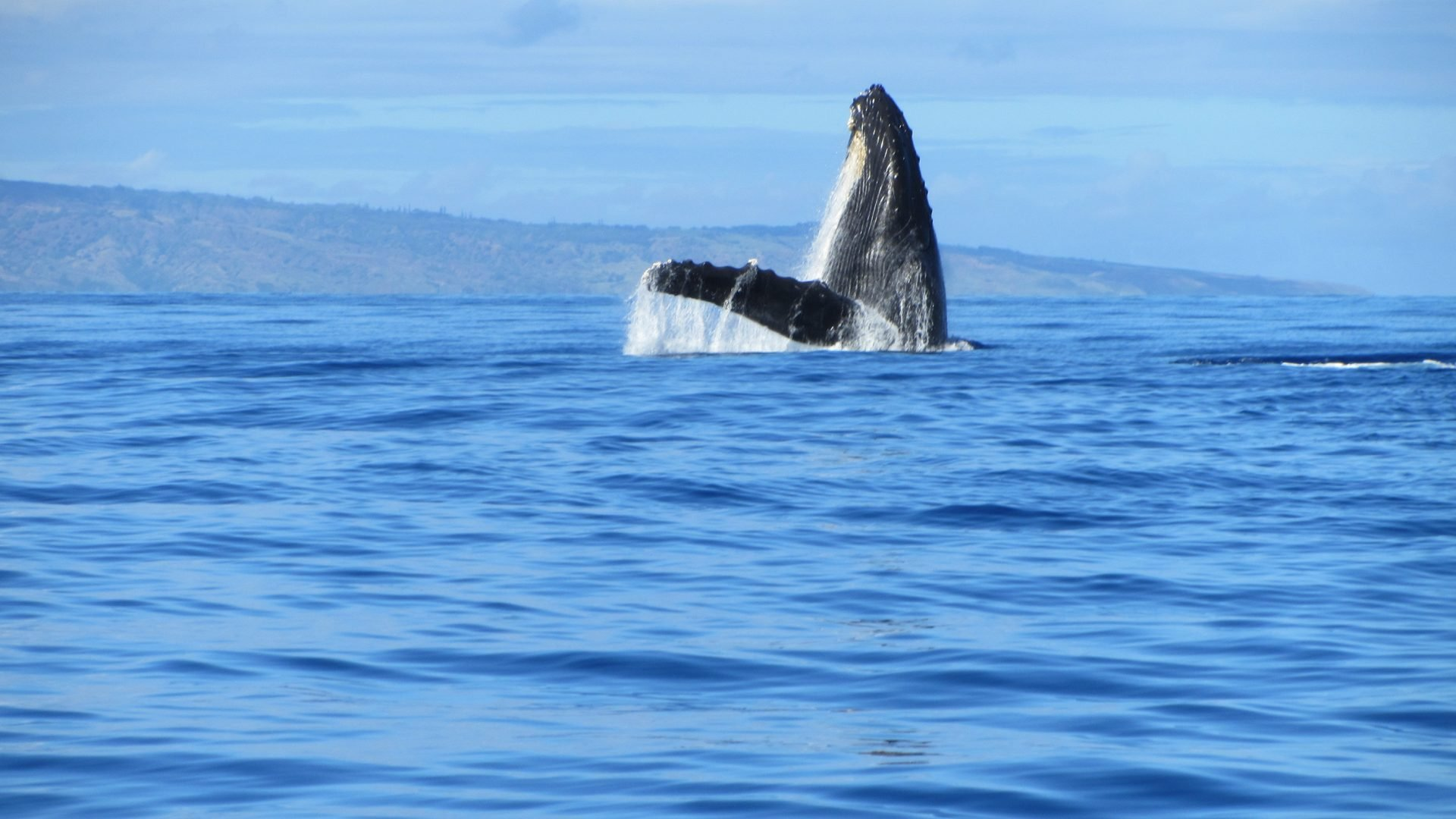 The holidays are here and the whales will begin to arrive in great numbers any day. If you are on Maui don't forget, Maui whale watching tours begin december 15th!