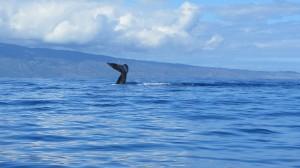 Maui's humpbacks