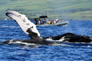 humpback whale watching on Maui