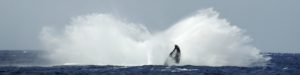 whale watching tours from Lahaina