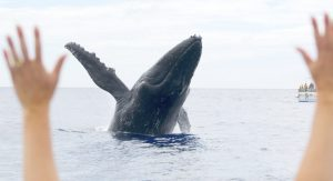 The countdown is on for Maui whale watching season