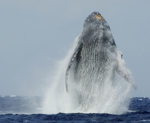 maui whale watching season