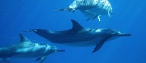 NKBR_Maui_Dolphins