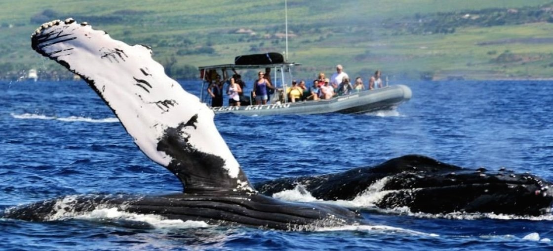 Maui whale watching trips are an inexpensive way to get up close and personal with these gentle giants.
