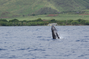 whale watching from Lahaina