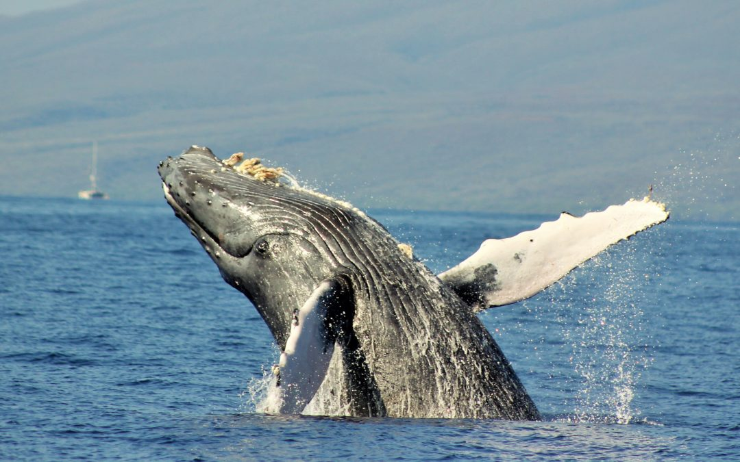 We operate whale watching tours from Lahaina between December and May.