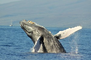 maui snorkeling and whale watching tours