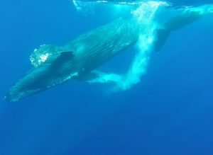 whale watching from Maui
