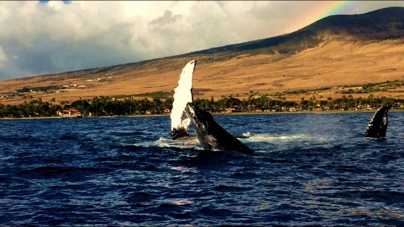 Our maui whale watching trips leave throughout the day from Lahaina Harbor.